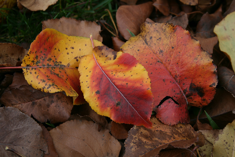 Fall Leaves 2006 (1)