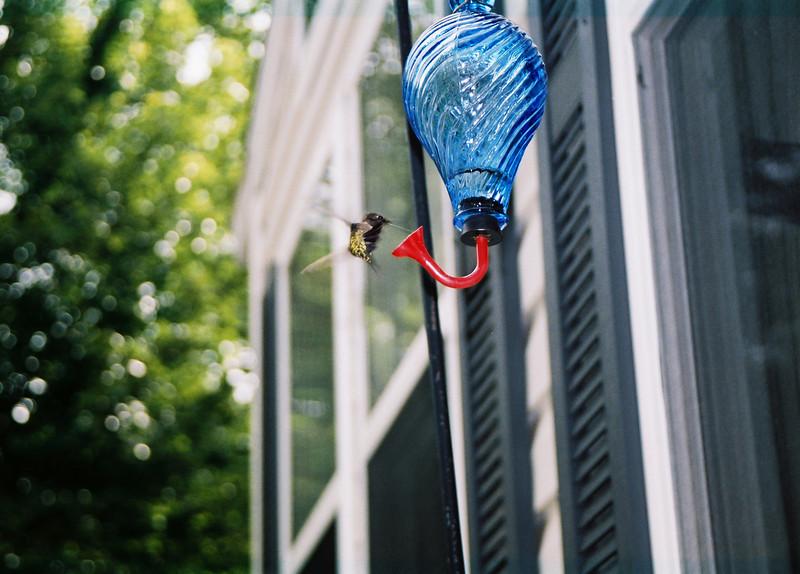 hummingbirds (7)