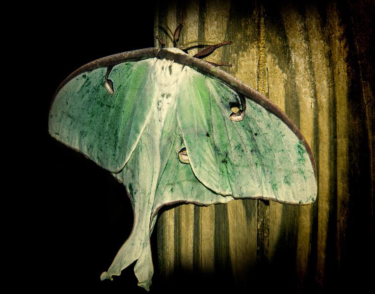 _DLS5724 Luna Moth