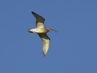 Curlew calling in flight