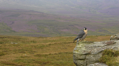 Peregrine in moorland scene