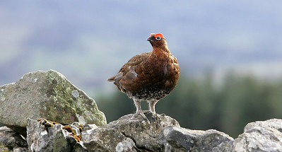 Cock Red grouse on dry stone wall