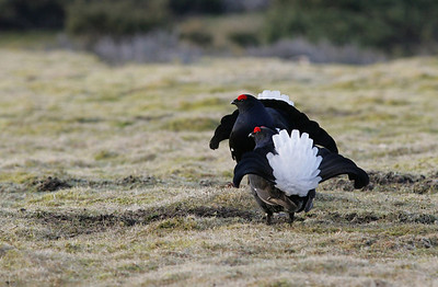 Male Black grouse displaying on lek