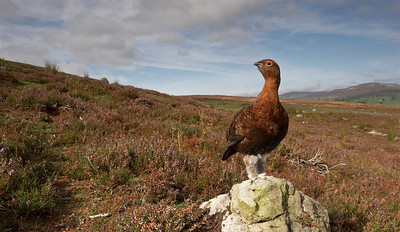 Cock Red grouse on territory