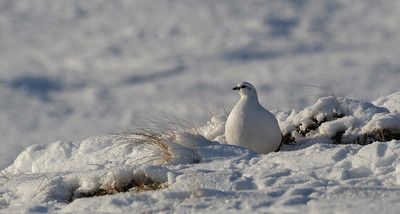 Ptarmigan in winter plumage, Scottish Highlands.
