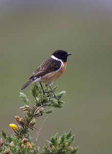 Cock Stonechat on gorse