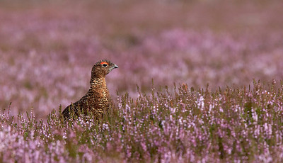 Red grouse in flowering heather
