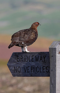 Male Red Grouse on signpost