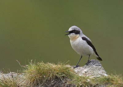 Cock Wheatear singing