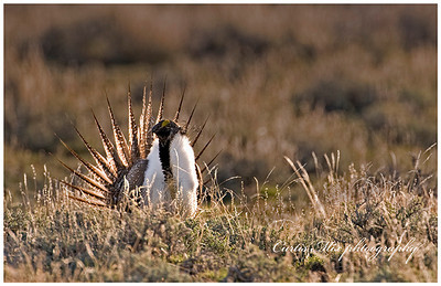 Sage Grouse strutting.