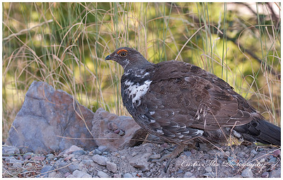 Blue Grouse in Montana.