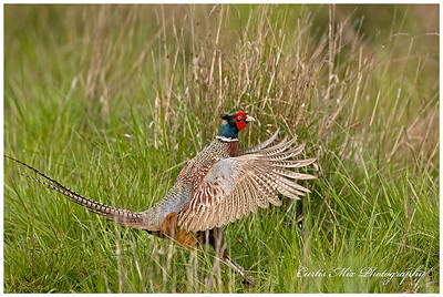 This is my house! A Ring- Necked Pheasant claims his turf.