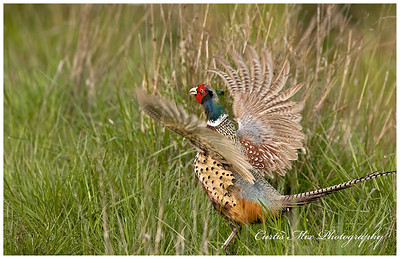 A cock Ring-Necked Pheasant crows and flaps his wings.