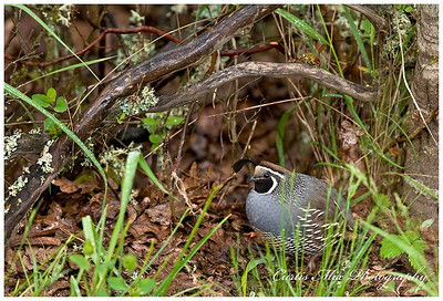 Out of the thicket. A California Quail emerges and he was with Mountain quail..