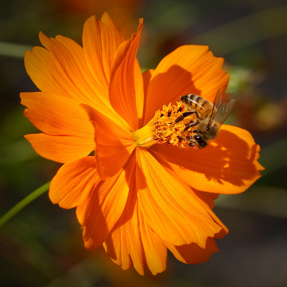 Bee on Cosmos