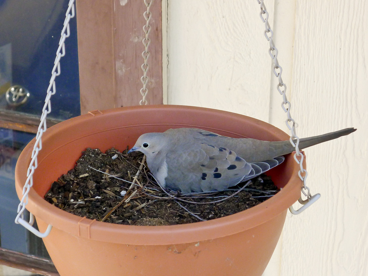 Mourning dove sitting on eggs in a hanging flower pot.