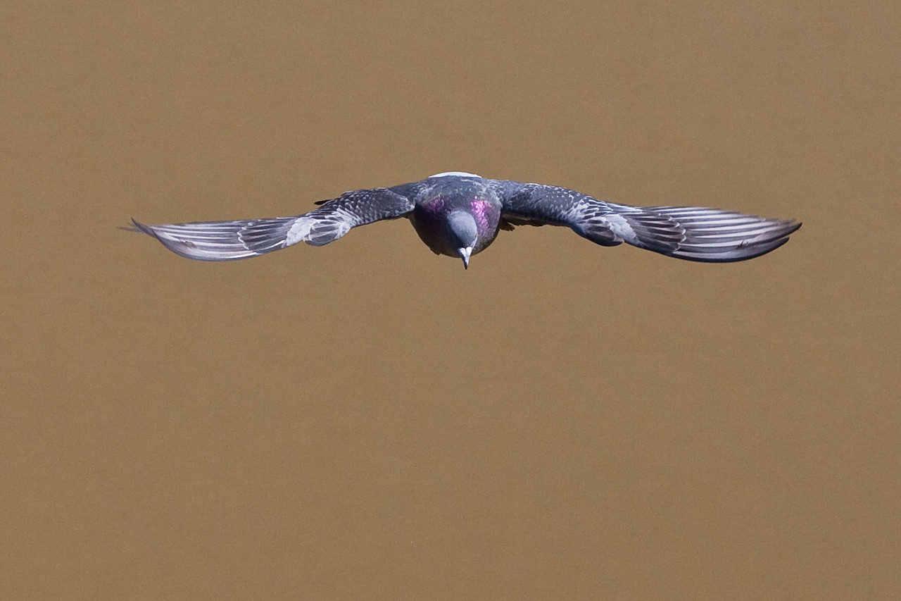 3574 Pigeon in Flight