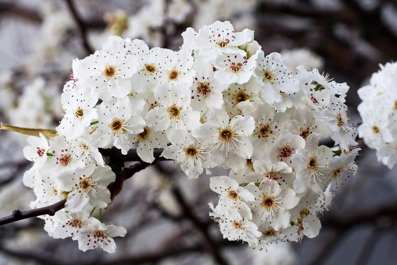 1694 Tree Blossoms