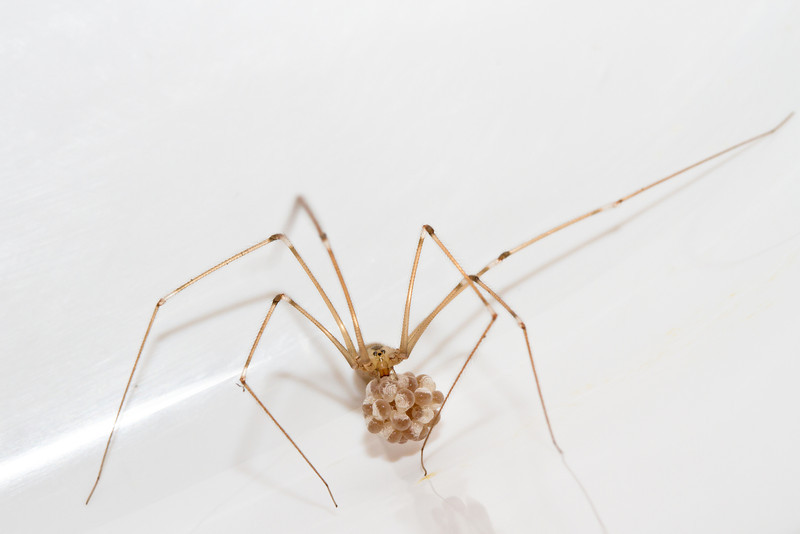 Cellar spider with an egg sack.