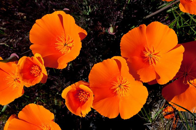 0953 Poppies
