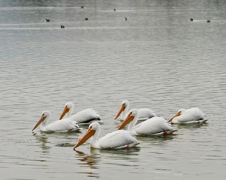 Pelicans on Lake Elizabeth, Fremont.