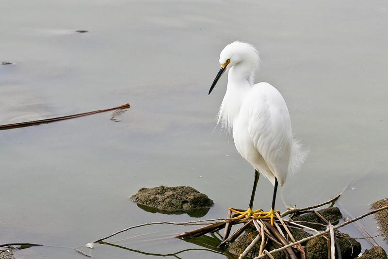 Snowy egret, Lake Elizabeth, Fremont