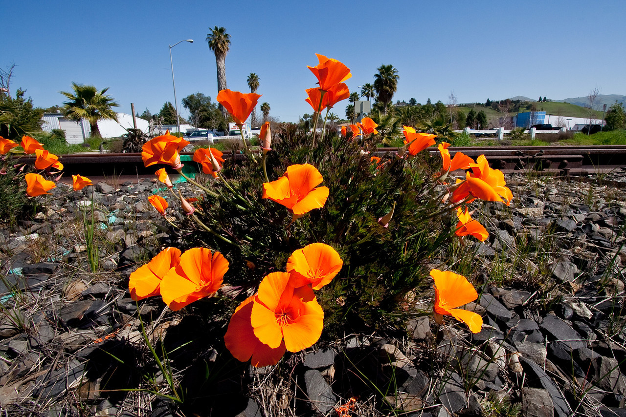 0919 Poppies by RR