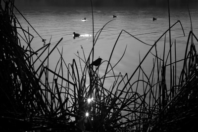 Reeds and birds silhouette in the morning at Lake Elizabeth, Central Park, Fremont, California.