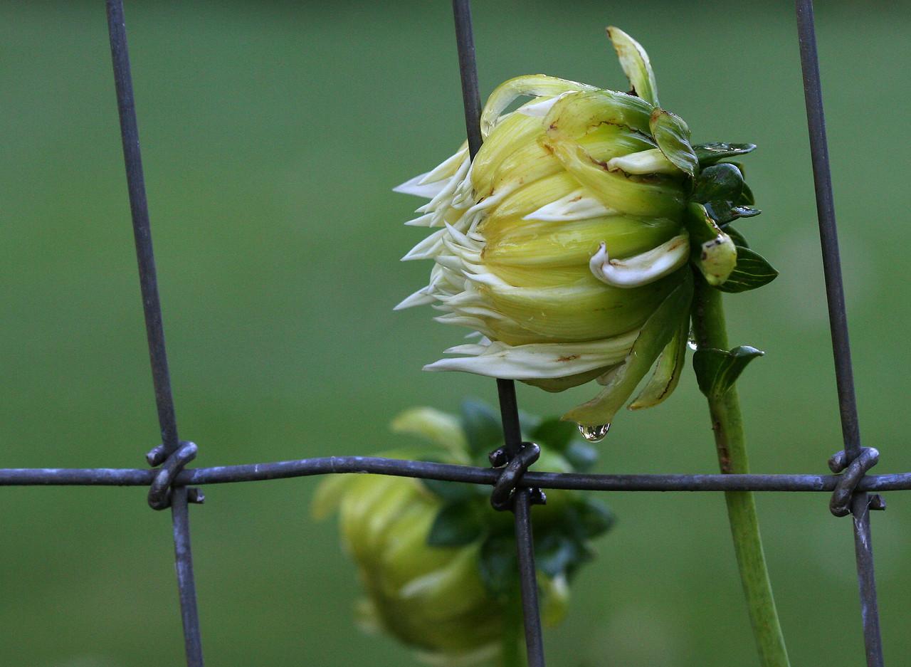 4348 Flower in Fence