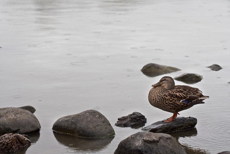 Duck in the Rain