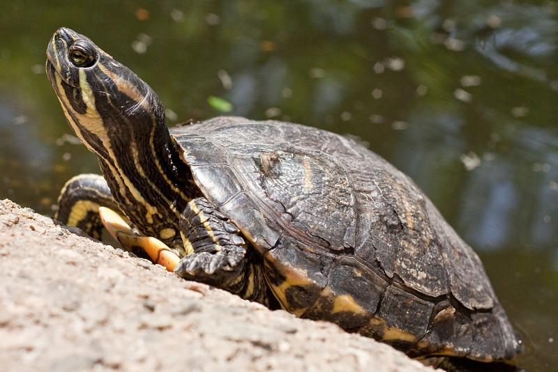 6156 Turtle