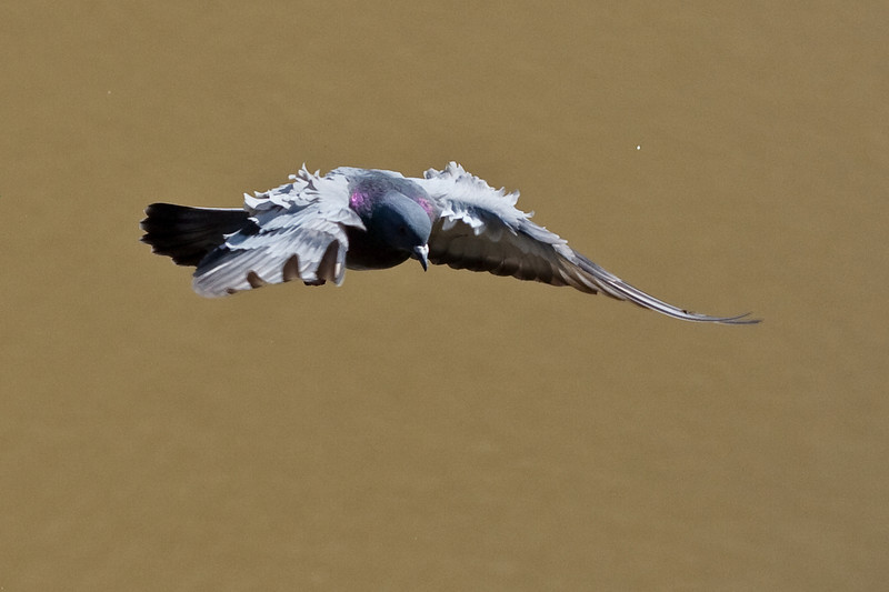 3607 Pigeon in Flight