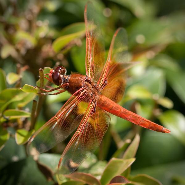4515 Dragonfly