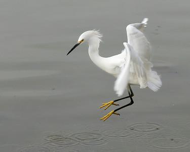 Snowy egret, Lake Elizabeth, Fremont.