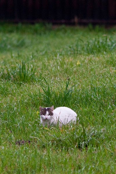 Cat in the dewy grass, Fremont.