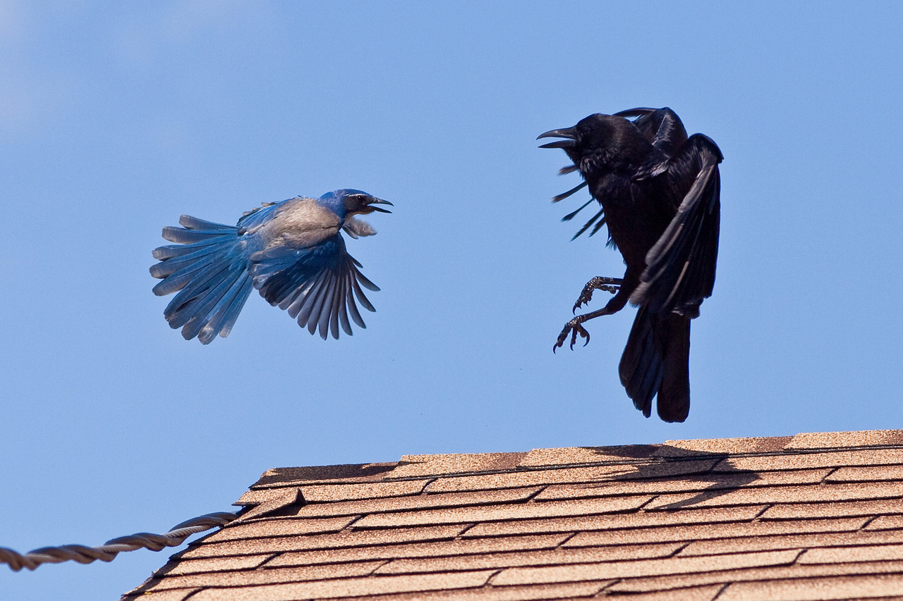 Jay and Crow