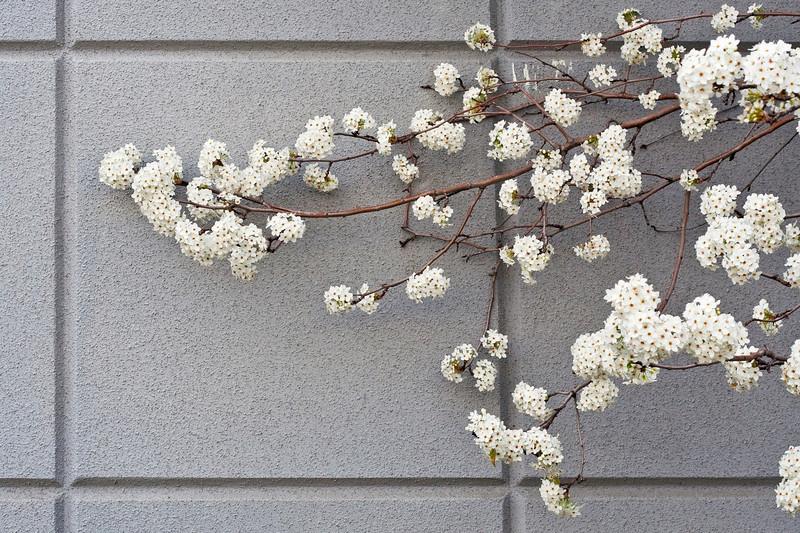 1675 Tree Blossoms