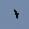 Uinta Mountains 10_golden eagle