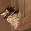 Antelope Island 10_barn swallow