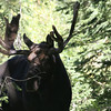 Uinta Mountains 11_moose