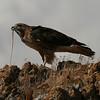 Antelope Island 13_ferruginus hawk