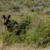 Uinta Mountains 9_moose