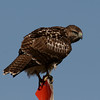 Uinta Mountains 7_red-tailed hawk