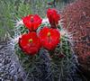 Claret Cup Flower