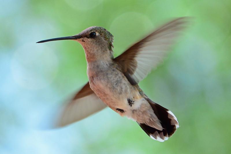 Black-chinned Hummingbird (4)