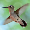 Black-chinned Hummingbird (4)