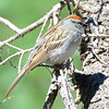 Chipping Sparrow (1)