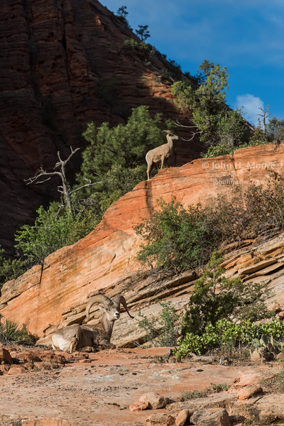 Bighorn Sheep in Zion National Park.  Utah, USA