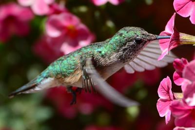 Broad-tailed Hummingbird female (3)