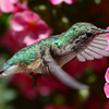 Broad-tailed Hummingbird female (3)